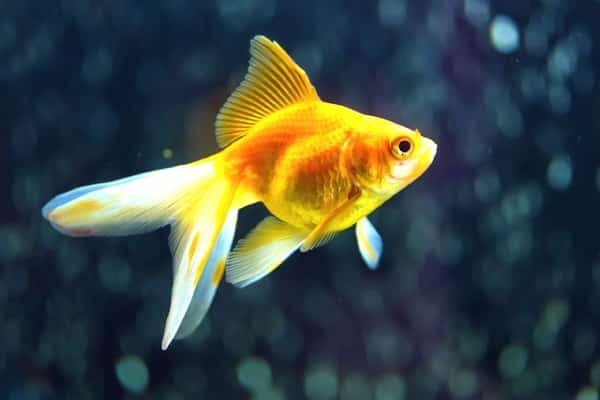 pez goldfish