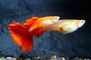 pez guppy