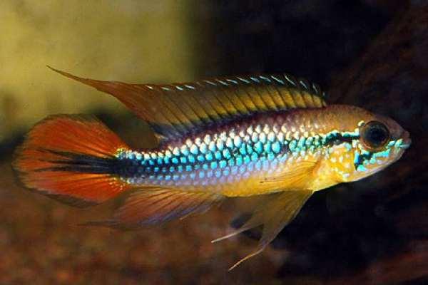 pez agassizii
