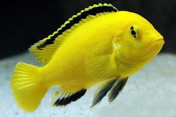 pez amarillo electrico