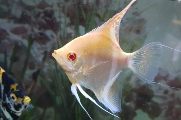 pez angel albino 2