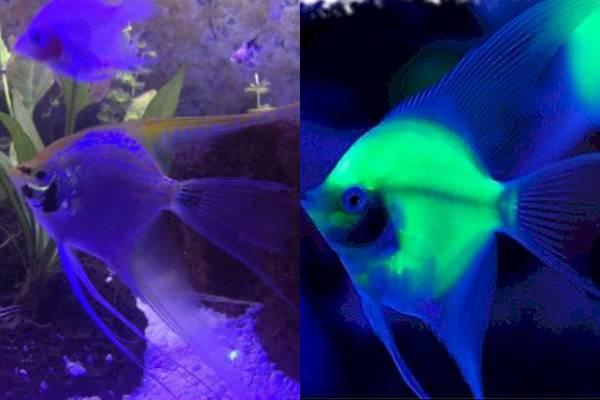 pez angel brilla en la oscuridad 2