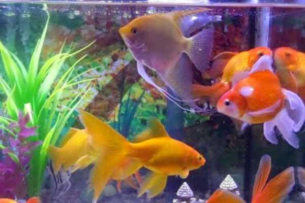 acuario goldfish común