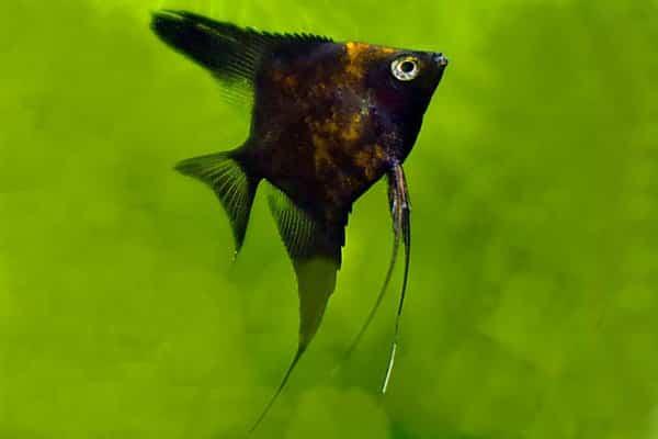 pez angel encaje negro 2