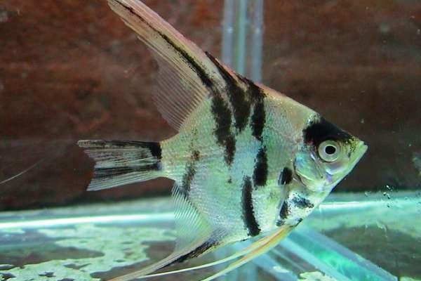 pez angel marmol 1