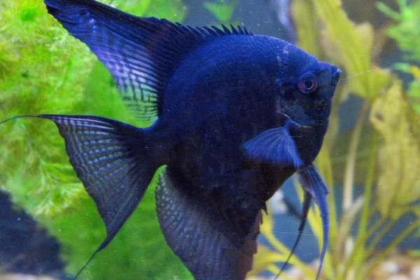 pez angel negro 1
