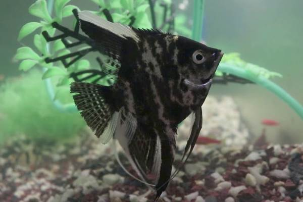 pez angel negro 2