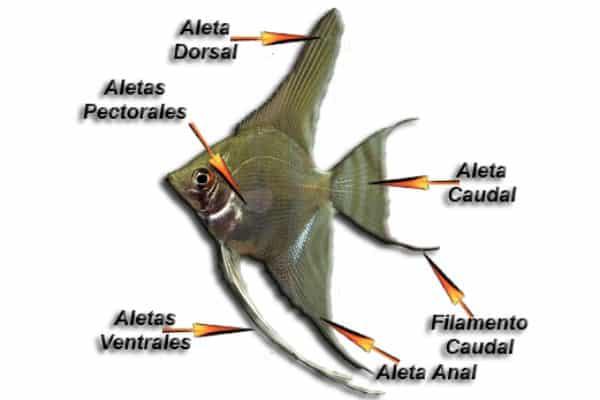 pez angel partes del pez 1