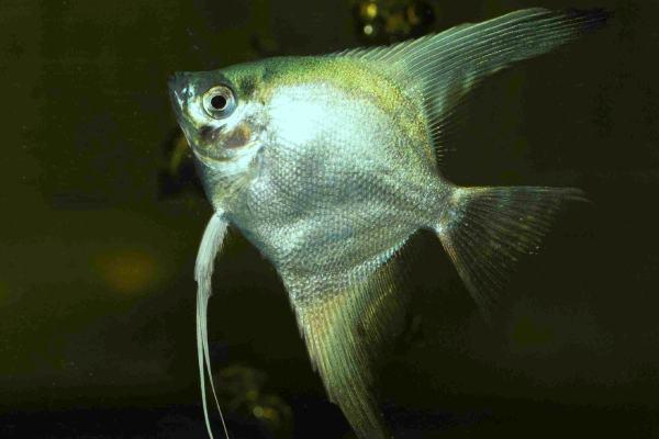 pez angel plata 1
