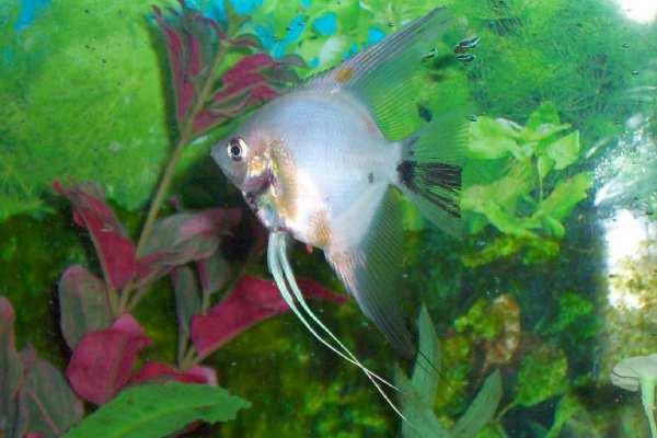 pez angel plata 2