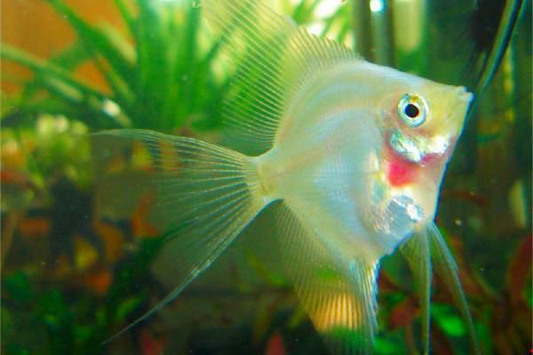 pez angel ruborizado 1