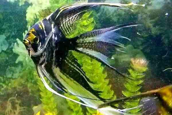 pez angel velo 2