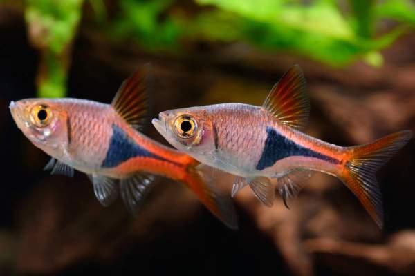 pez arlequin