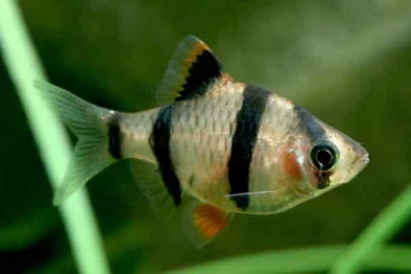 pez barbo sumatrano