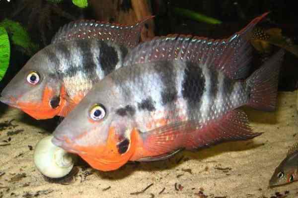 pez boca de fuego