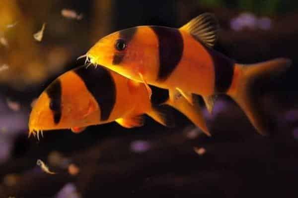pez botia payaso