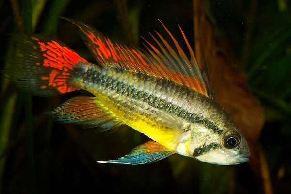 pez ciclido cacatua