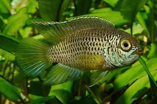 pez ciclido enano de ojos dorados