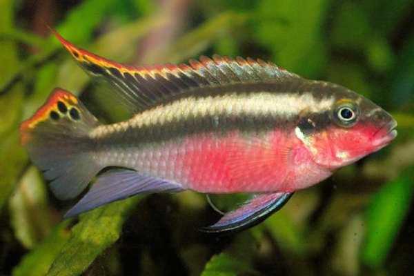 pez ciclido kribensis