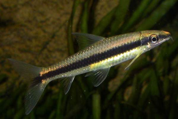 pez come algas siames
