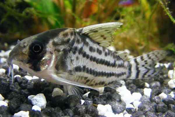 pez corydora