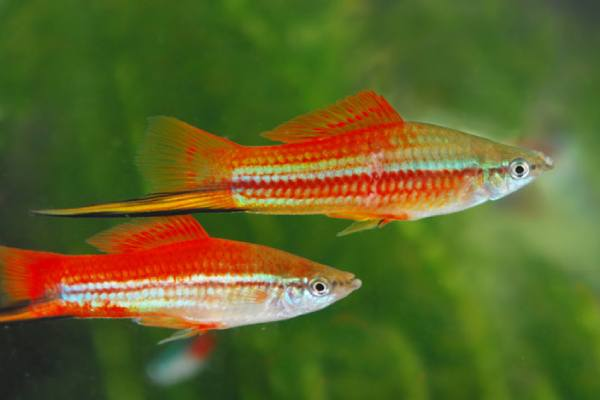 pez espada xipho