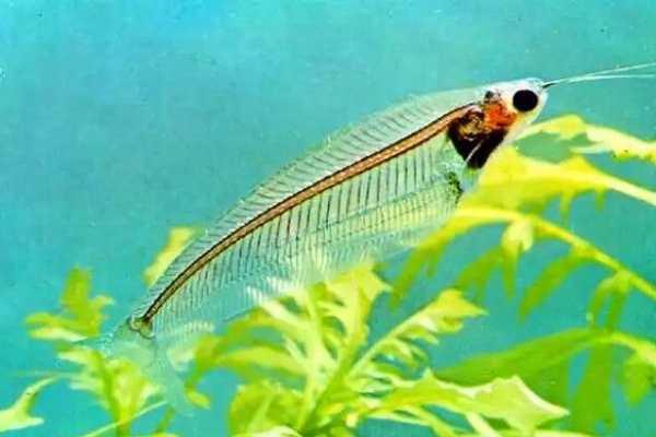 pez gato de cristal
