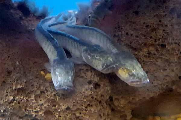 pez gobio violeta dragon
