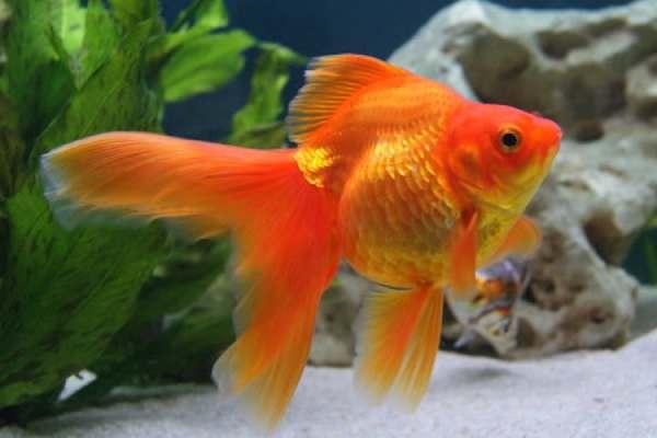 pez goldfish bailarina