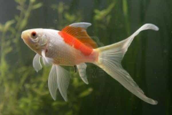 pez goldfish cometa
