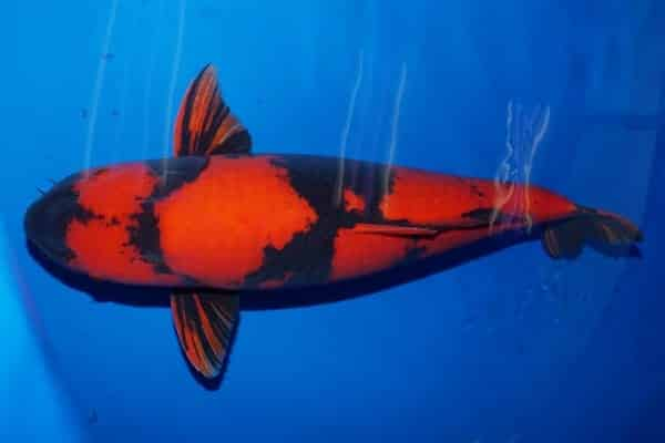 pez koi Utsurimono rojo