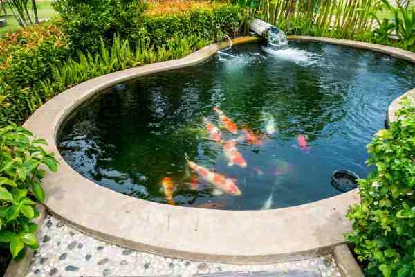 pez koi estanque