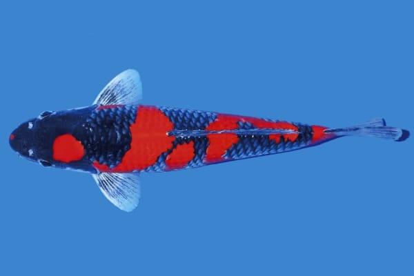 pez koi ogon negro y rojo