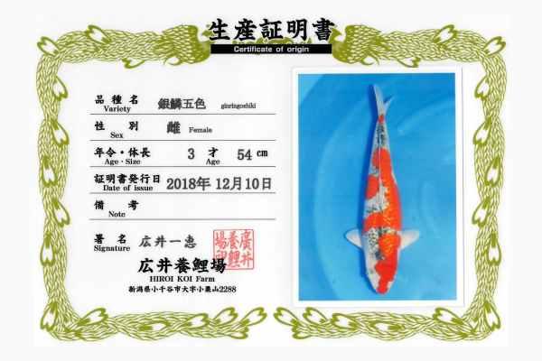 pez koi origen