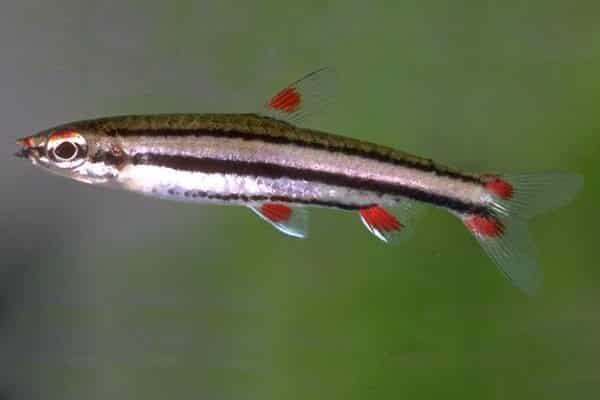 pez lapiz de tres bandas
