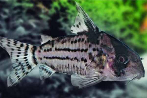 pez morena de agua dulce