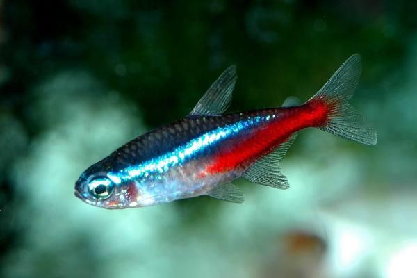 pez neon chino