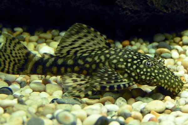 pez pleco ancistrus