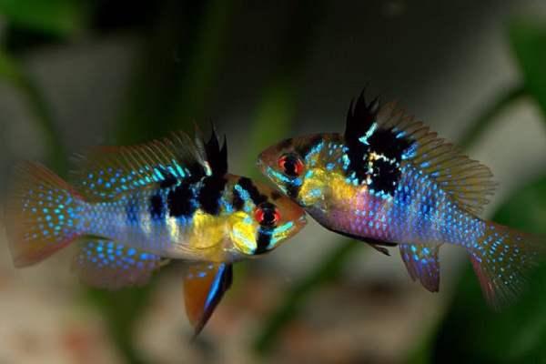 pez ramirezi
