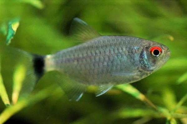 pez tetra de ojos rojos