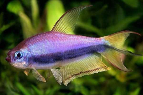 pez tetra emperador