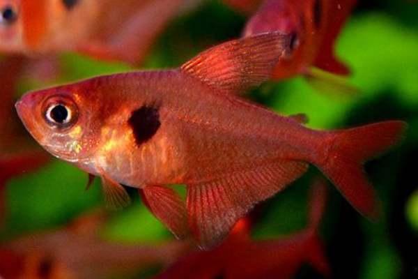 pez tetra fantasma rojo