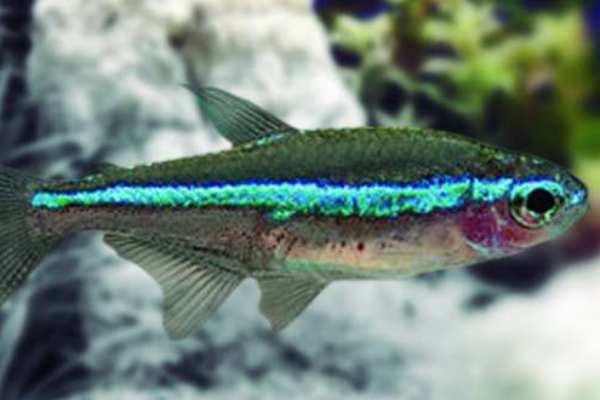pez tetra neon verde