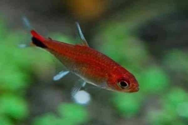 pez tetra ruby