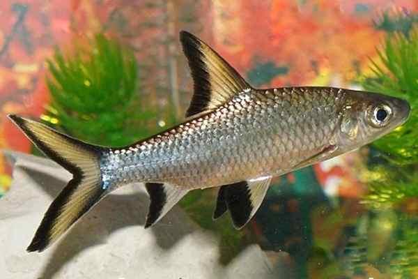 pez tiburon plata