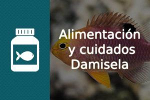 Alimentación pez Damisela