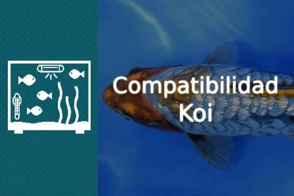 Compatibilidad del pez Koi
