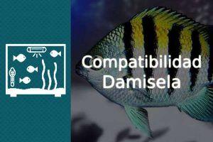 Compatibilidad pez Damisela