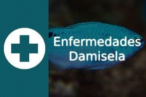 Enfermedades pez Damisela