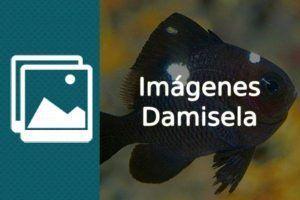 Imágenes pez Damisela
